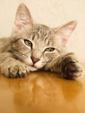 Gatto sulla tabella Immagine Stock