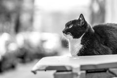 Gatto sulla via, sguardo indipendente (BW) immagine stock libera da diritti