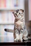 Gatto sveglio Immagini Stock