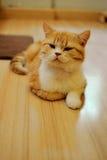 Gatto sveglio Fotografia Stock