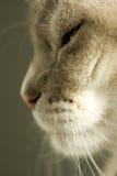 Gatto siamese del punto blu fotografia stock