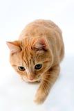 Gatto sveglio Fotografia Stock Libera da Diritti