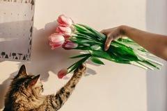 Gatto sveglio che gioca con i tulipani nella mattina nella sala momenti divertenti w Immagine Stock