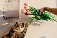 Gatto sveglio che gioca con i tulipani nella mattina nella sala momenti divertenti w Immagine Stock Libera da Diritti