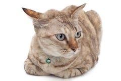 Gatto sveglio che si siede sul fondo bianco Immagine Stock Libera da Diritti