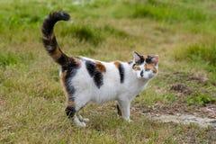 Gatto sveglio che sta sull'erba con la sua coda alzata Immagini Stock