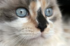 Gatto sveglio con gli occhi azzurri Fotografie Stock