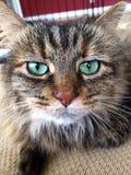 Gatto sveglio con gli occhi verdi Immagini Stock