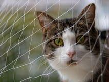 Gatto sveglio curioso con gli occhi verdi dietro una rete di sicurezza che guarda a Fotografie Stock Libere da Diritti