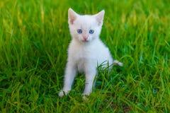 Gatto sveglio del gattino con gli occhi azzurri, bianchi su verde immagine stock libera da diritti