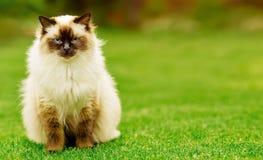 Gatto sveglio del gattino di Ragdoll con gli occhi azzurri che si siedono diritto erba in un giardino immagini stock