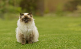 Gatto sveglio del gattino di Ragdoll con gli occhi azzurri che si siedono diritto erba in un giardino Fotografie Stock Libere da Diritti