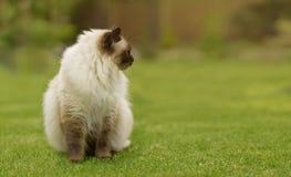 Gatto sveglio del gattino di Ragdoll con gli occhi azzurri che si siedono diritto erba in un giardino Fotografie Stock