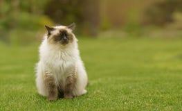 Gatto sveglio del gattino di Ragdoll con gli occhi azzurri che si siedono diritto erba in un giardino Fotografia Stock