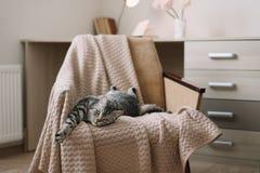 Gatto sveglio dell'animale domestico domestico che si trova sulla poltrona a casa Ritratto grigio diritto scozzese sveglio del ga fotografia stock libera da diritti