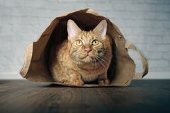 Gatto sveglio dello zenzero che si trova in un sacco di carta e che sembra ascendente curioso Immagini Stock Libere da Diritti