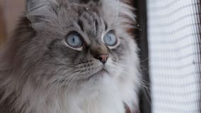 Gatto sveglio di Neva Masquerade che guarda dalla finestra che gode della neve e degli uccelli a casa all'interno nell'inverno archivi video