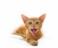 Gatto sveglio di sbadiglio Fotografia Stock Libera da Diritti