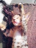 Gatto sveglio di sonno Fotografia Stock Libera da Diritti