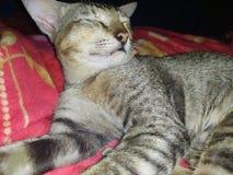 Gatto sveglio di sonno nel letto immagine stock libera da diritti