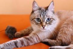 Gatto sveglio nel salone che considera la macchina fotografica Gatto con gli occhi azzurri splendidi fotografia stock libera da diritti