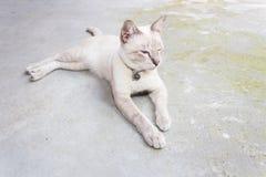 Gatto tailandese Fotografia Stock Libera da Diritti