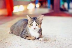 Gatto tailandese immagini stock libere da diritti