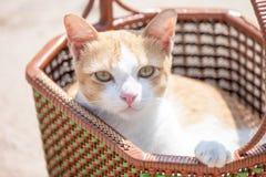 Gatto tailandese Immagini Stock