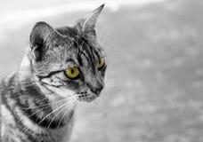 Gatto tailandese in bianco e nero con gli occhi gialli Fotografie Stock