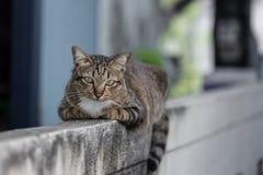 Gatto tailandese che vive sul recinto Immagine Stock Libera da Diritti