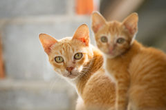 Gatto tailandese della famiglia Immagine Stock