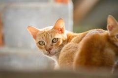 Gatto tailandese della famiglia Fotografie Stock