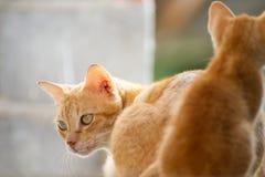 Gatto tailandese della famiglia Fotografia Stock