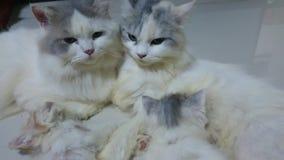 Gatto tailandese della piccola famiglia archivi video