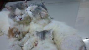 Gatto tailandese della piccola famiglia video d archivio