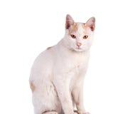 Gatto tailandese isolato su fondo bianco Immagini Stock Libere da Diritti