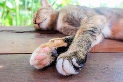 Gatto tailandese sul pavimento e sul fondo di legno della sfuocatura Fotografia Stock Libera da Diritti