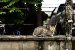 Gatto Tailandia Fotografia Stock