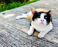 gatto Tre-colorato Fotografia Stock Libera da Diritti