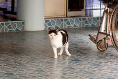 Gatto tre fornito di gambe Immagini Stock