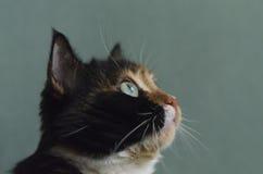 Gatto Tricolour con gli occhi verdi Immagine Stock