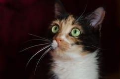 Gatto Tricolour con gli occhi verdi Fotografie Stock Libere da Diritti
