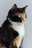 Gatto Tricolour con gli occhi verdi sui precedenti leggeri Fotografia Stock