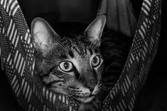 Gatto in un'amaca che guarda fuori Fotografie Stock Libere da Diritti