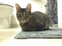 Gatto in un bianco ed in Gray Bathroom fotografie stock libere da diritti