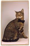 Gatto in un legame nero Fotografie Stock