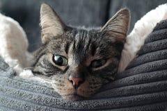 Gatto in un letto lanuginoso Immagini Stock