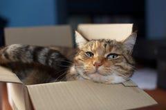 Gatto in una scatola Immagine Stock