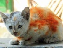 Gatto variopinto Fotografia Stock
