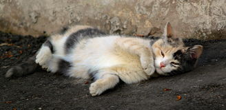 Gatto variopinto che si trova sulla pavimentazione Fotografia Stock Libera da Diritti